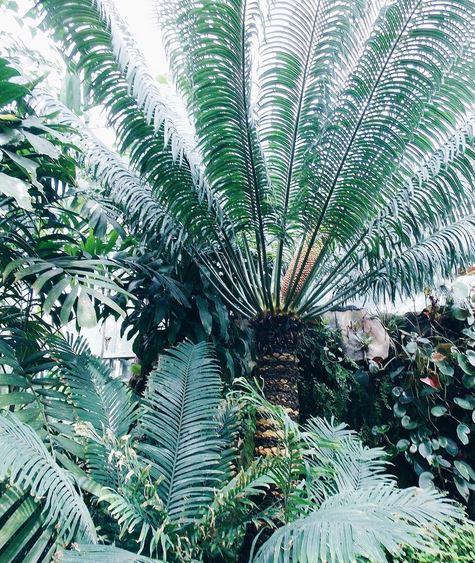 palmiers jardin des plantes caen